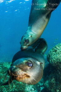 Two Sea Lion Playing with me, Los Islotes  Mexico by Alejandro Topete