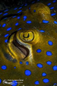 Eye stingray by Marco Faimali (ismar-Cnr)