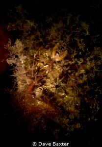 tasseled angler fish by Dave Baxter