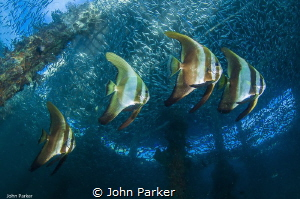 Batfish Formation by John Parker