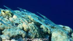 Red Sea, Cornetfish (fistularia commersonii) Egypt, Shar... by Maestro Protic