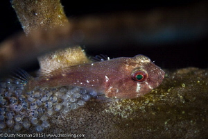 """""""Cling Love"""" A Red Cling Fish protecting small eggs on a... by Dusty Norman"""