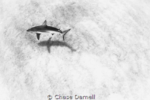 """""""Lunary Shark""""  Caribbean Reef Shark cruising the sand i... by Chase Darnell"""