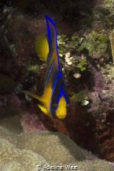 Juvenile queen angelfish by Adeline Wee