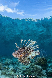 Lionfish with reef reflections by John Parker