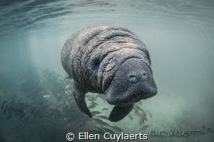 Manatee calf at Crystal River, 3 Sisters Springs by Ellen Cuylaerts