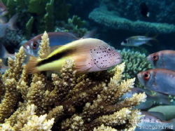 Freckled hawkfish on acropora coral by Laura Dinraths