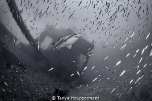 Sentinel of the Spar A sand tiger shark watches over the... by Tanya Houppermans