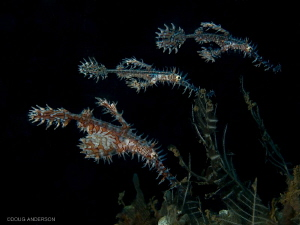 Ornate Ghost Pipefish, Lembeh by Doug Anderson