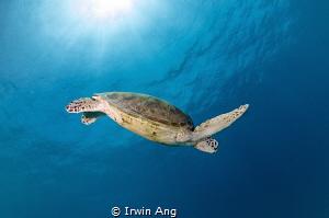 S W I M  Green sea turtle (Chelonia mydas) Pom Pom Isla... by Irwin Ang