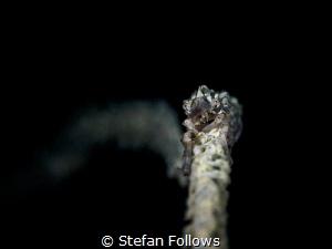 Fool on the Hill. Xeno Crab - Xenocarcinus tuberculatus. ... by Stefan Follows
