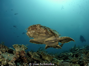 Flying carpet - Wobbegong shark swimming by Uwe Schmolke
