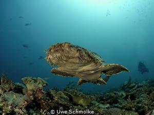Flying carpet - Wobbegong shark swimming by Uwe Schmolke