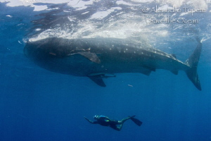 Whaleshark with Snorkel, Isla Contoy Mexico by Alejandro Topete