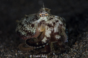 I N V E R T E B R A T E Octopus (Octopoda) Anilao, Phil... by Irwin Ang