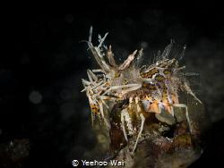 Spiny Tiger Shrimp (Phyllognathia ceratophthalma) Anilao... by Yeehoo Wai