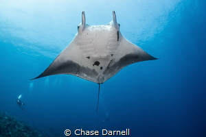 """""""Showtime"""" Manta's are a rare sighting here in Cayman. W... by Chase Darnell"""