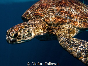 Move over Rover ... Green Turltle - Chelonia mydas. Koh S... by Stefan Follows