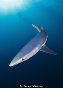 Blue shark circles in the blue of the Atlantic ocean.  —... by Terry Steeley