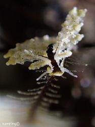 Eubranchus sp. @ Anilao Olympus TG-3 by Hon Ping