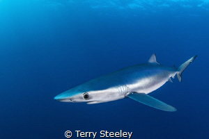 Wonderfully curious, the Atlantic blue shark moves in for... by Terry Steeley
