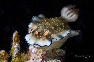 Nudibranch -Hypselodoris bollandi by Wayne Jones