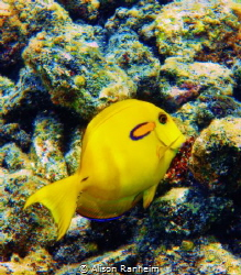 I think it's a yellow Orange Banded Surgeonfish by Alison Ranheim