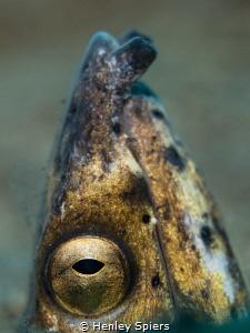 Black-Finned Snake Eel (Ophichtus melanochir)  f2.8 1/2... by Henley Spiers
