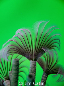 'Emerald Forest' - Social feather dusters shot in situ wi... by Jim Catlin