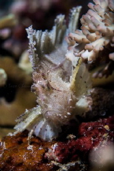 Leaf Scorpionfish by Taco Cheung