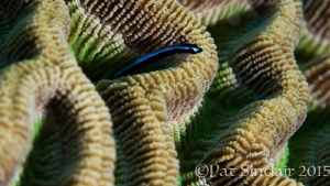 Brain coral - I love the canyons and movement in this cor... by Patricia Sinclair