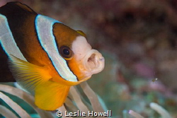 Clark Anemonefish. f11 / 1/1125 - 105mm