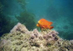 Garibaldi off of Catalina, Canon Elph Sport by Chris Lawford