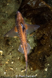 Sharky figures swim below! Hydrolagus colliei or Spotted ... by Marc Damant