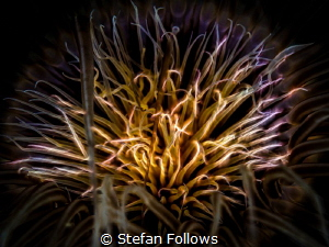 Playing with Fire. Tube Anemone - Cerianthus sp. Ang Thon... by Stefan Follows