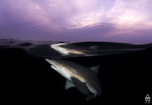 Oceanic Black Tip close to the surface at last light. by Allen Walker