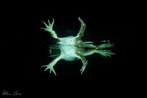 Night swimming with a Leopard Frog. by Steven Miller