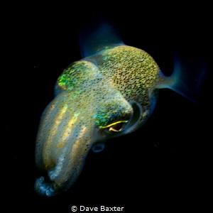 bobbit squid by Dave Baxter