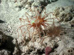 Banded tube-dwelling Anemone on a night dive in Blue bay,... by Martin Van Gestel