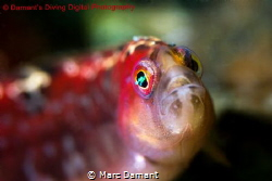 The Long Fin Gunnel is a voracious little hunter that can... by Marc Damant