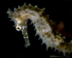 Small Sea Horse in Dumaguete Phillipines - by Robin Bateman