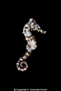 This seahorse was clinging to sealife as I prepared to ph... by Susannah H. Snowden-Smith