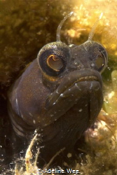 I'm watching you - Sailfin blenny by Adeline Wee