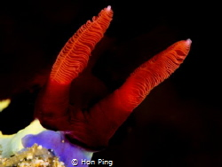 The Rhinophores of The Nembrotha by Hon Ping