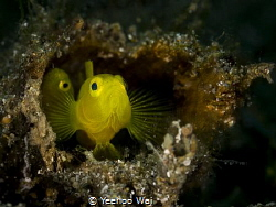Yellow Pgymy Goby (Lubricogobius exiguus)  Anilao, Phili... by Yeehoo Wai