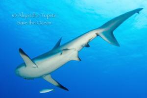 Back side of Shark, Half Moon Caye Belize by Alejandro Topete