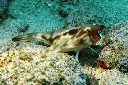 Nik.D2x-Galapagos-wolf island-redlip batfish by Manfred Bail