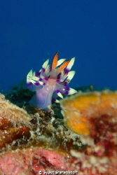 The photo Flabellina Exoptata was captured in Terumbu 3 d... by Syukri Shahabuddin