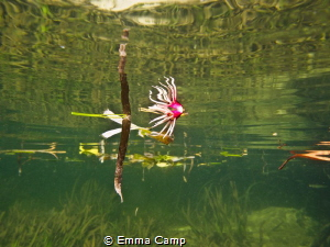 Taken in the Mangroves of Indonesia, the shot was taken r... by Emma Camp
