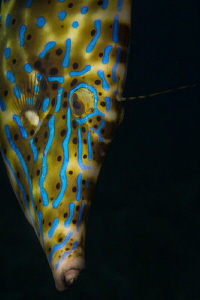 """""""Blue Beauty"""" This Filefish's color was amazing. After s... by Chase Darnell"""